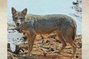 איום וסכנה מהתרבות תנים ומהתפרצות מחלת הכלבת באזור